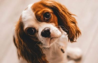 King Charles-spaniël rustig hondenras